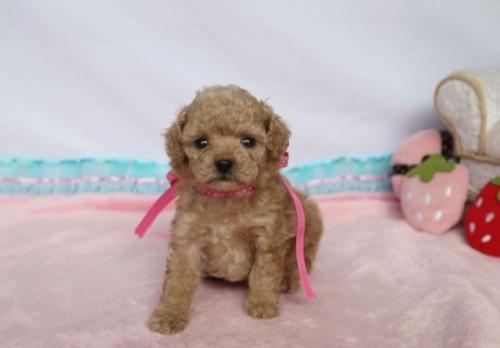 トイプードルの子犬(ID:1253511011)の2枚目の写真/更新日:2018-06-11