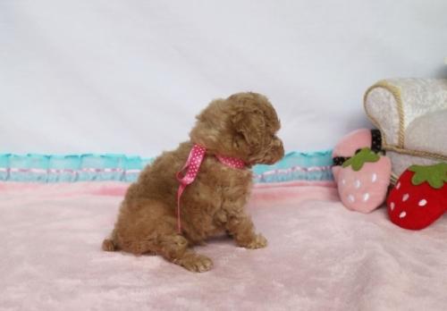 トイプードルの子犬(ID:1253511011)の4枚目の写真/更新日:2018-06-11
