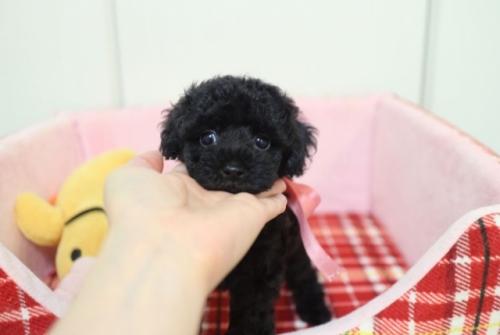 トイプードルの子犬(ID:1253511012)の1枚目の写真/更新日:2018-06-23