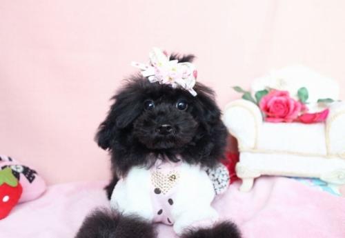 トイプードルの子犬(ID:1253511037)の1枚目の写真/更新日:2016-12-01