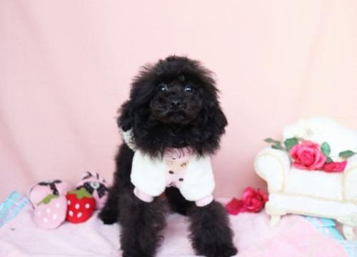トイプードルの子犬(ID:1253511037)の2枚目の写真/更新日:2016-12-01