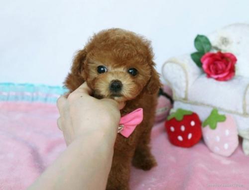 トイプードルの子犬(ID:1253511039)の1枚目の写真/更新日:2017-03-22