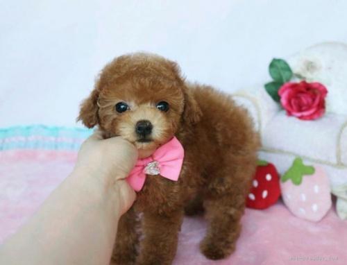 トイプードルの子犬(ID:1253511039)の5枚目の写真/更新日:2017-03-22