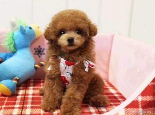 トイプードルの子犬(ID:1253511041)の1枚目の写真/更新日:2017-02-13