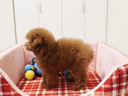 トイプードルの子犬(ID:1253511041)の3枚目の写真/更新日:2017-02-13