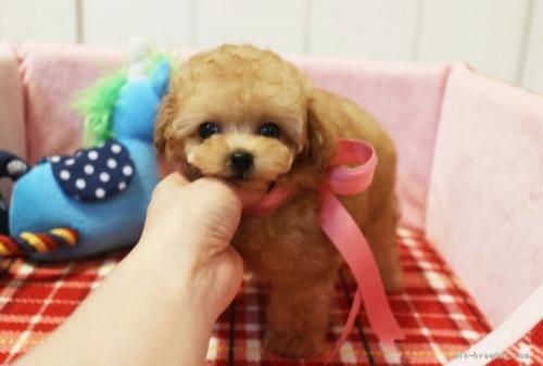 トイプードルの子犬(ID:1253511042)の1枚目の写真/更新日:2017-03-31