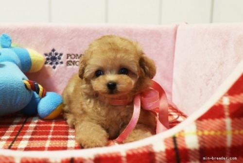 トイプードルの子犬(ID:1253511042)の3枚目の写真/更新日:2017-03-31