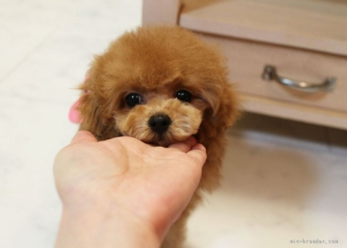 トイプードルの子犬(ID:1253511043)の1枚目の写真/更新日:2017-04-10