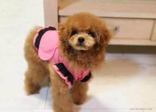 トイプードルの子犬(ID:1253511043)の4枚目の写真/更新日:2017-04-10