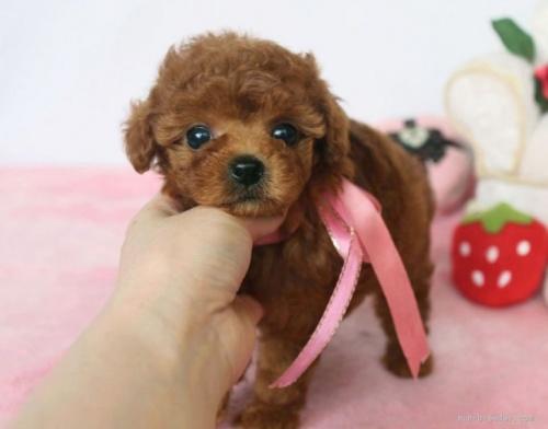 トイプードルの子犬(ID:1253511044)の1枚目の写真/更新日:2017-04-10
