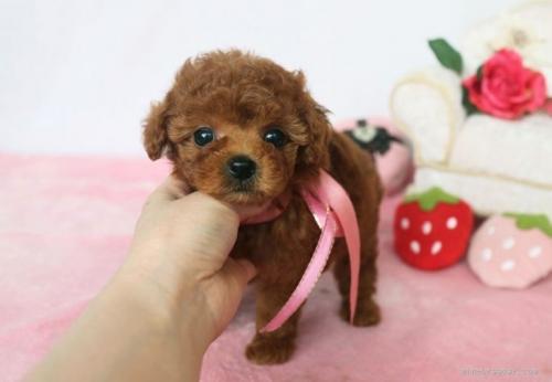 トイプードルの子犬(ID:1253511044)の2枚目の写真/更新日:2017-04-10