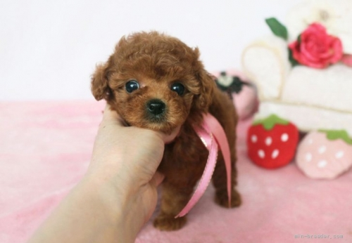 トイプードルの子犬(ID:1253511044)の3枚目の写真/更新日:2017-04-10
