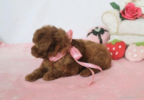 トイプードルの子犬(ID:1253511044)の4枚目の写真/更新日:2017-04-10