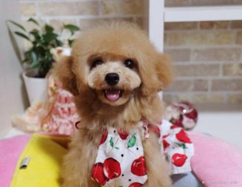 トイプードルの子犬(ID:1253511045)の2枚目の写真/更新日:2017-05-31