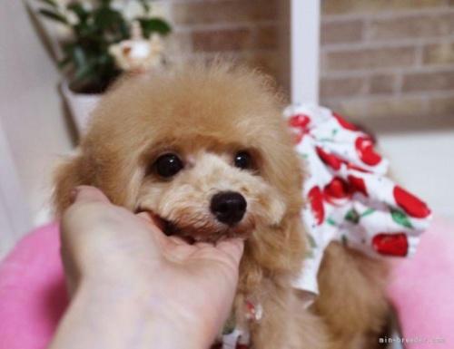 トイプードルの子犬(ID:1253511045)の3枚目の写真/更新日:2017-05-31