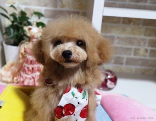 トイプードルの子犬(ID:1253511045)の4枚目の写真/更新日:2017-05-31