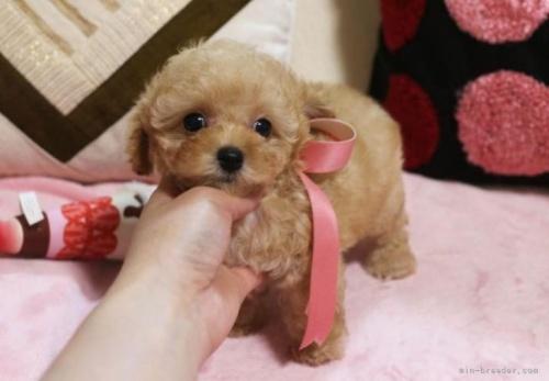 トイプードルの子犬(ID:1253511060)の2枚目の写真/更新日:2018-03-05