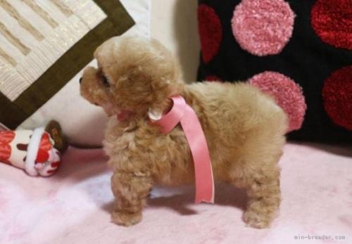 トイプードルの子犬(ID:1253511060)の5枚目の写真/更新日:2018-02-22