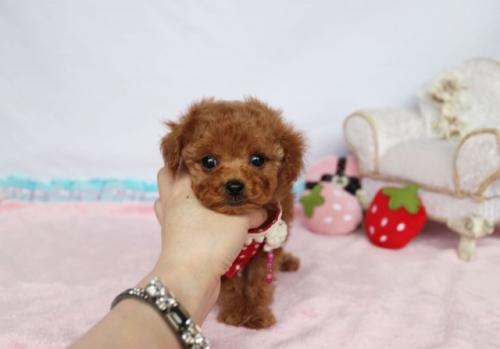 トイプードルの子犬(ID:1253511061)の1枚目の写真/更新日:2018-05-07