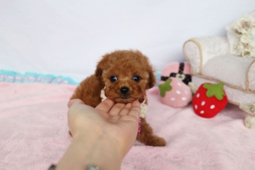 トイプードルの子犬(ID:1253511061)の2枚目の写真/更新日:2018-05-07