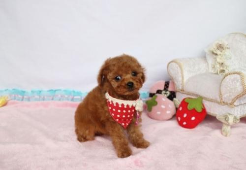 トイプードルの子犬(ID:1253511061)の3枚目の写真/更新日:2018-05-07