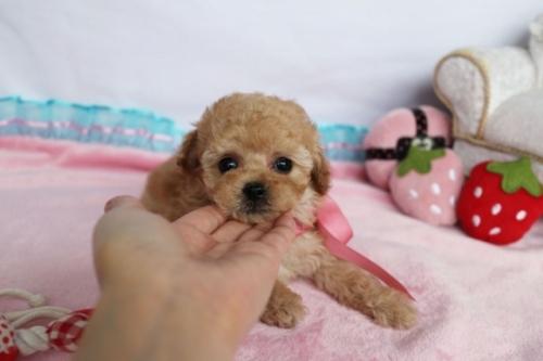 トイプードルの子犬(ID:1253511062)の1枚目の写真/更新日:2018-05-07