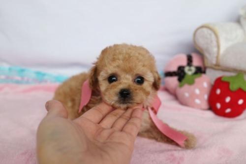 トイプードルの子犬(ID:1253511062)の2枚目の写真/更新日:2018-05-07