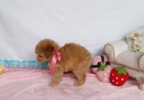 トイプードルの子犬(ID:1253511062)の3枚目の写真/更新日:2018-05-07