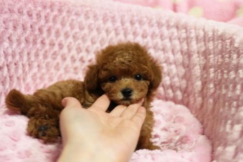 トイプードルの子犬(ID:1253511063)の1枚目の写真/更新日:2018-04-16