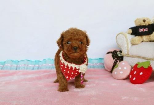 トイプードルの子犬(ID:1253511065)の2枚目の写真/更新日:2018-05-12