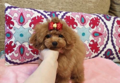 トイプードルの子犬(ID:1253511066)の1枚目の写真/更新日:2018-05-12