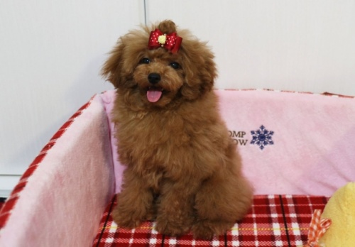 トイプードルの子犬(ID:1253511066)の2枚目の写真/更新日:2018-05-12