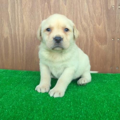 ラブラドールレトリバーの子犬(ID:1253811187)の1枚目の写真/更新日:2017-01-04