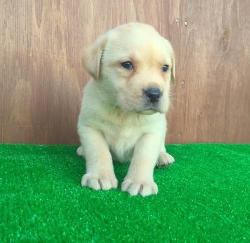 ラブラドールレトリバーの子犬(ID:1253811187)の2枚目の写真/更新日:2017-01-04