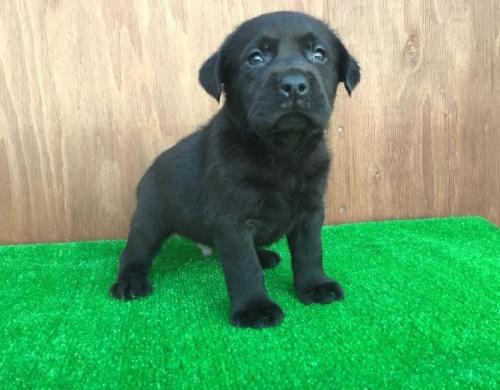 ラブラドールレトリバーの子犬(ID:1253811188)の1枚目の写真/更新日:2017-01-04