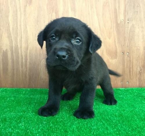 ラブラドールレトリバーの子犬(ID:1253811188)の3枚目の写真/更新日:2017-01-04