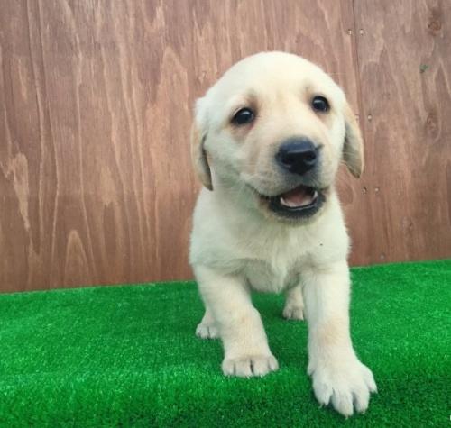 ラブラドールレトリバーの子犬(ID:1253811189)の1枚目の写真/更新日:2017-01-09
