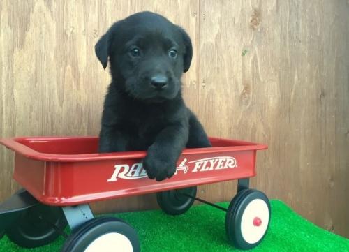 ラブラドールレトリバーの子犬(ID:1253811191)の1枚目の写真/更新日:2017-01-09