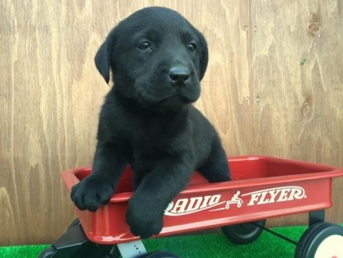 ラブラドールレトリバーの子犬(ID:1253811191)の2枚目の写真/更新日:2017-01-09