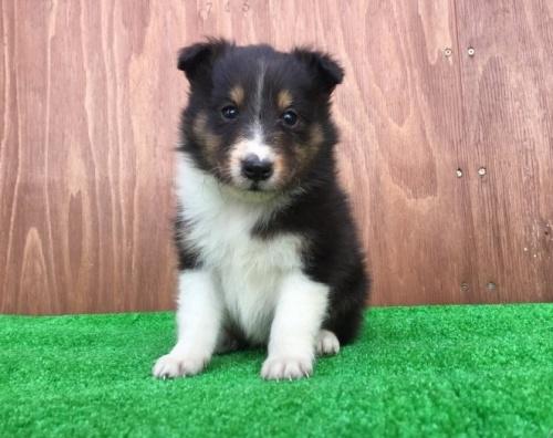 シェットランドシープドッグの子犬(ID:1253811195)の1枚目の写真/更新日:2017-02-13