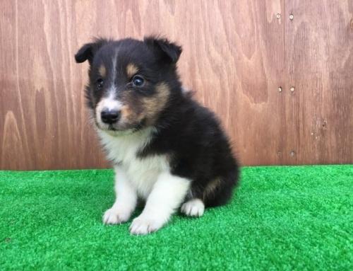 シェットランドシープドッグの子犬(ID:1253811195)の2枚目の写真/更新日:2017-02-13