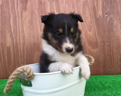 シェットランドシープドッグの子犬(ID:1253811195)の3枚目の写真/更新日:2017-02-13