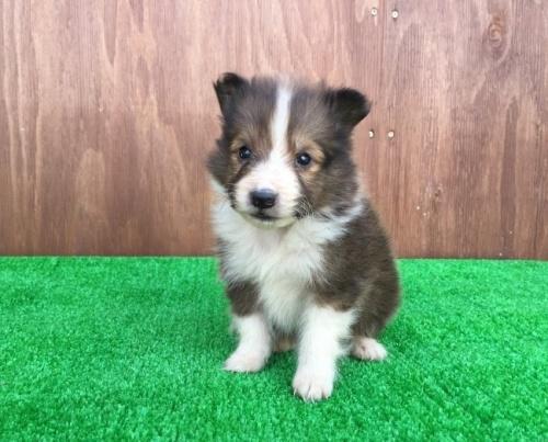 シェットランドシープドッグの子犬(ID:1253811196)の1枚目の写真/更新日:2017-02-13