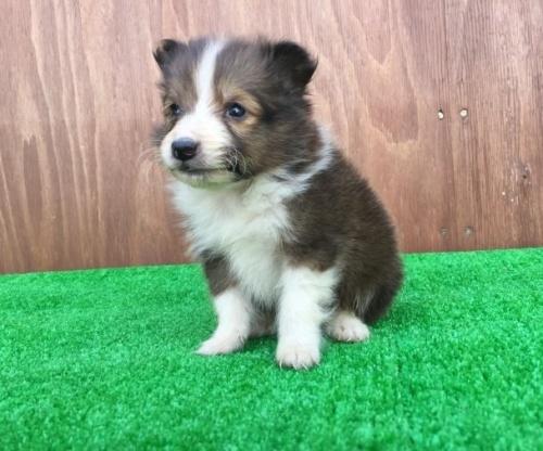 シェットランドシープドッグの子犬(ID:1253811196)の2枚目の写真/更新日:2017-02-13