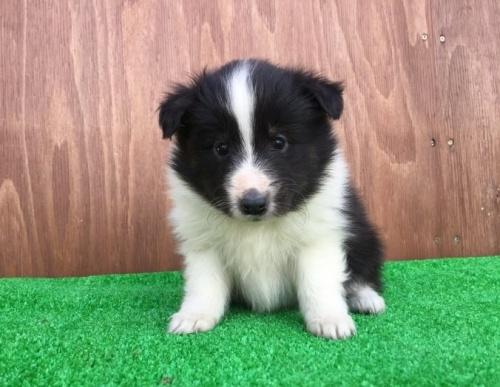 シェットランドシープドッグの子犬(ID:1253811197)の1枚目の写真/更新日:2017-02-13