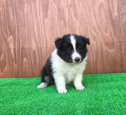 シェットランドシープドッグの子犬(ID:1253811197)の2枚目の写真/更新日:2017-02-13