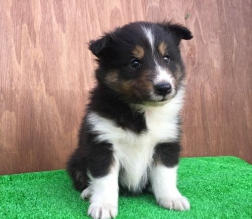 シェットランドシープドッグの子犬(ID:1253811198)の1枚目の写真/更新日:2017-02-13