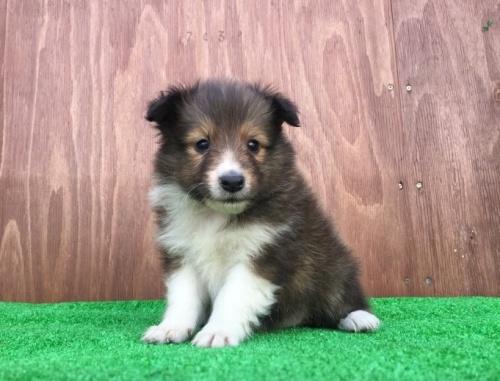 シェットランドシープドッグの子犬(ID:1253811199)の1枚目の写真/更新日:2017-02-13