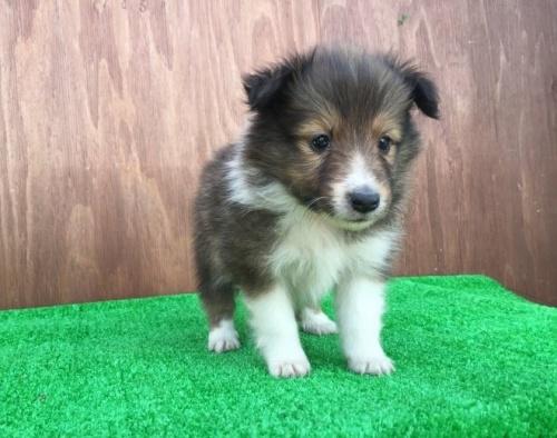 シェットランドシープドッグの子犬(ID:1253811199)の2枚目の写真/更新日:2017-02-13