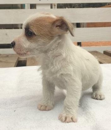 ジャックラッセルテリアの子犬(ID:1253811211)の2枚目の写真/更新日:2018-03-11